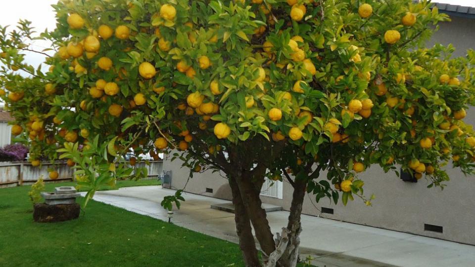 El limonero p gina12 limonero sin limones for Limonero sin limones
