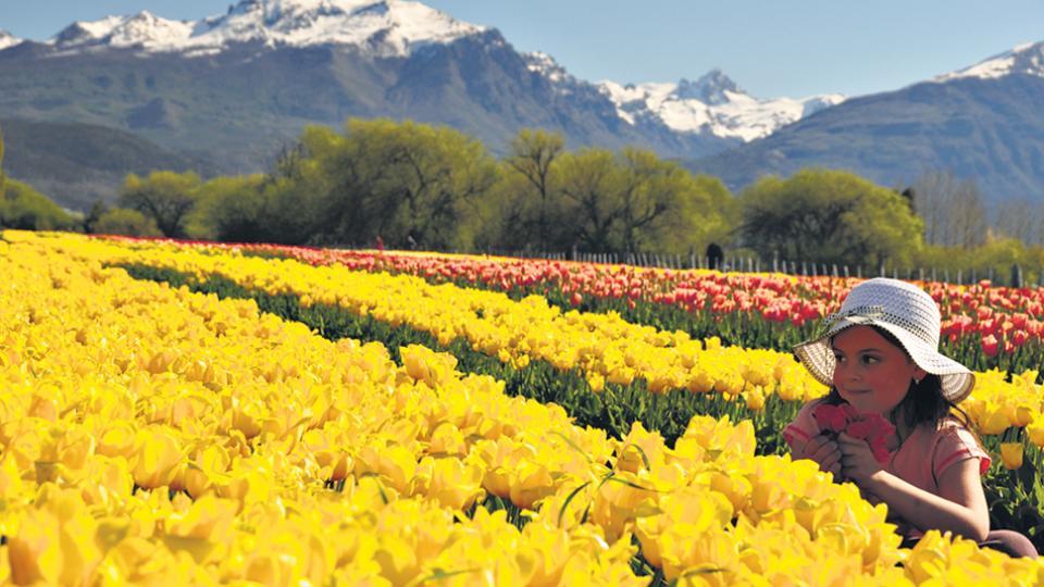 Como en Holanda, pero en la Patagonia, gracias a la plantación chubutense sobre tres hectáreas.