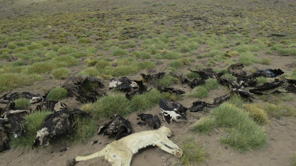 Encontraron 34 cóndores muertos en Malargüe — Sin precedentes