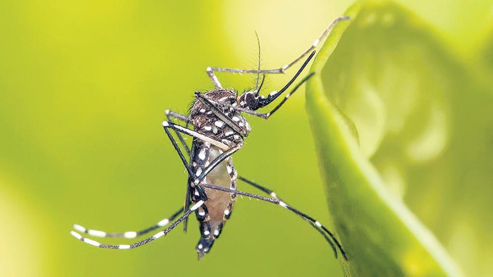 El Aedes aegypti es el portador del virus del dengue.