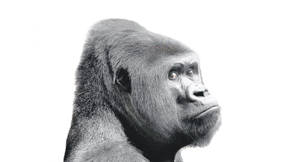 4165086c7218 El gorila nace o se hace