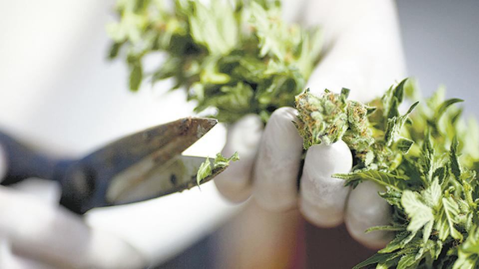 La OMS quiere favorecer la investigación de las propiedades terapéuticas del cannabis.