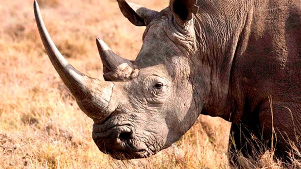 India: queman miles de cuernos de rinoceronte como medida de protesta  contra el mercado ilegal | Un mensaje a cazadores y contrabandistas |  Página12