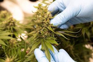 Nueva Zelanda se convertirá el primer país del mundo en someter al voto popular la legalización de la marihuana y la eutanasia. (Fuente: AFP)
