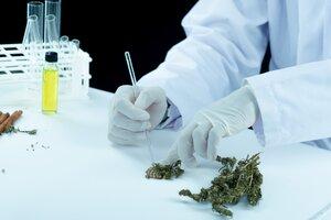 Hoy existen 22 iniciativas de industrialización del cannabis en marcha en provincias y 80 en municipios.