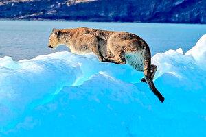 El puma sobre el témpano en el Lago Argentino que fue captado por turistas en el Parque Nacional Los Glaciares.