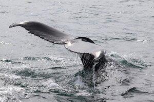 Las muestran del chorro que expulsan al respirar las ballenas, se toman antes y después del paso de un barco turístico. (Fuente: AFP)