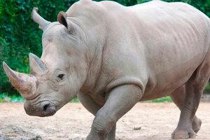 Toby era el rinoceronte viejo más viejo del mundo: tenía 54 años y murió en un zoológico de Italia. (Fuente: AFP)