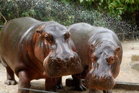 24 hipopótamos de Pablo Escobar se suman a los 11 que ya habían sido esterilizados de forma tradicional. (Fuente: EFE)