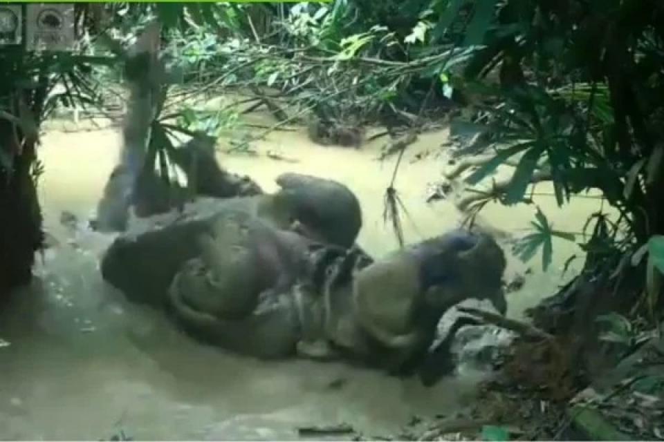 Un exótico rinoceronte en Indonesia fue filmado mientras se bañaba en el barro