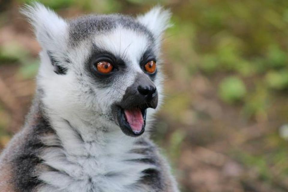 Alerta roja para los lémures: están en peligro de extinción