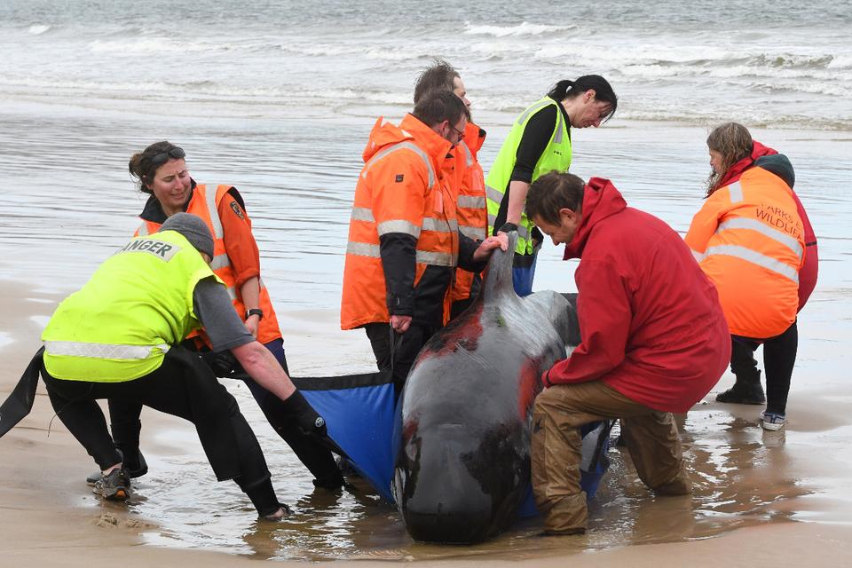 En Australia ya murieron unos 90 ballenas de las cerca de 300 que quedaron varadas.