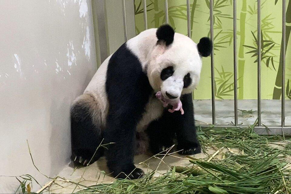 En el zoológico de Singapur nació un panda engendrado mediante inseminación artificial. (Fuente: AFP)