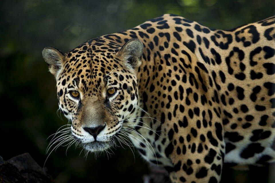 El yaguareté, el felino más grande de los que habitan el país, está en peligro de extinción.