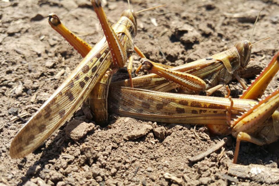 Una plaga de langostas «de proporciones bíblicas» azota a Africa
